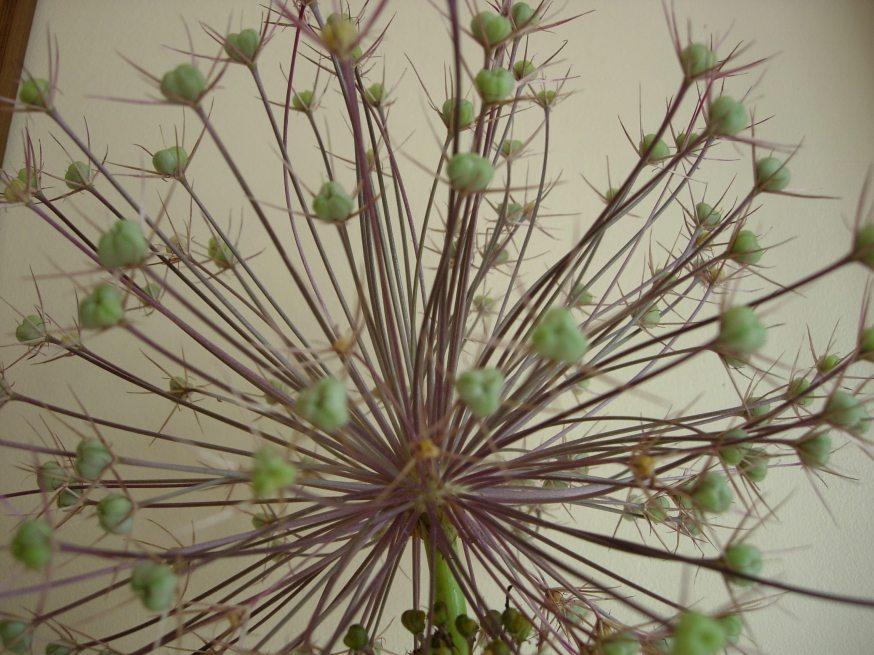 alium seedhead