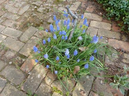 grape hyacinth slk