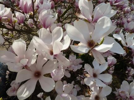 full-blown magnolia slk