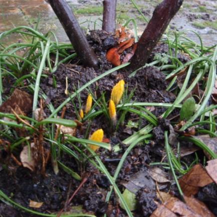 yellow, first crocus slk